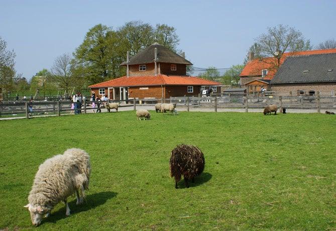 schapen-op-Korenmaat