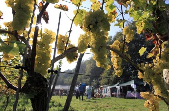 wijnstokken_mariendaal2