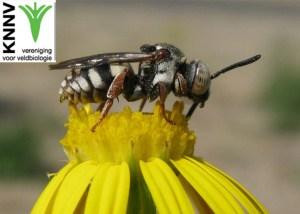 knnv_Wilde-bijen