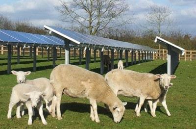 Zonnepark-met-schapen